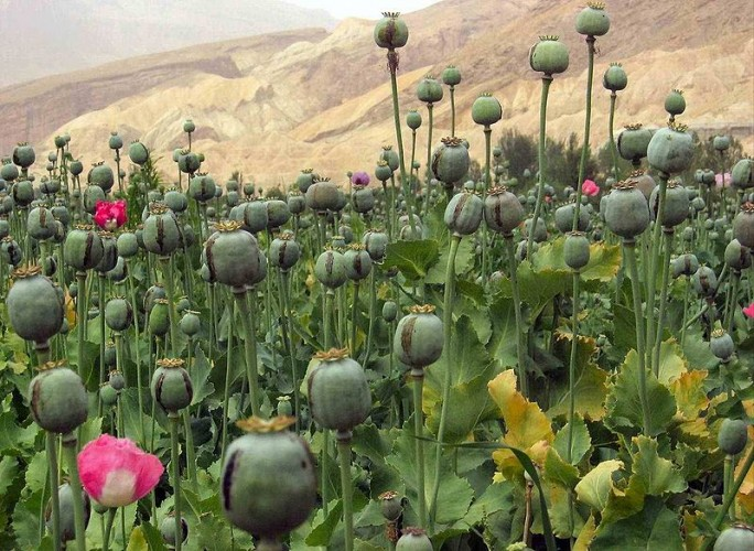 Poverty, Addiction Fuel Opium Cultivation in Afghanistan